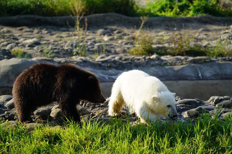 Jebbie (brown grizzly bear cub) and Laerke (white polar bear cub).