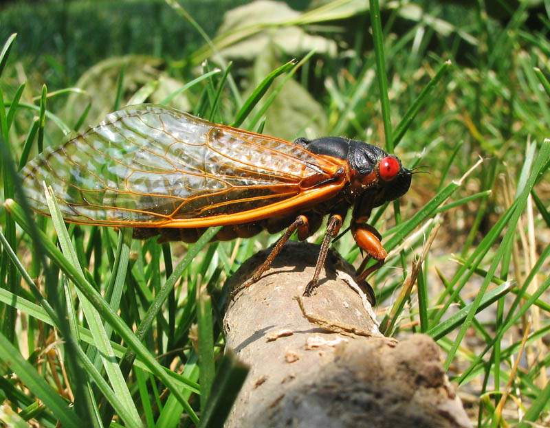 A 17 year Cicada from brood X 2004 - Princeton, NJ. (Pmjacoby)