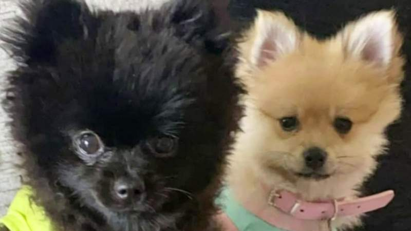 Reward offered for return of 2 dogs stolen from vehicle in Troy