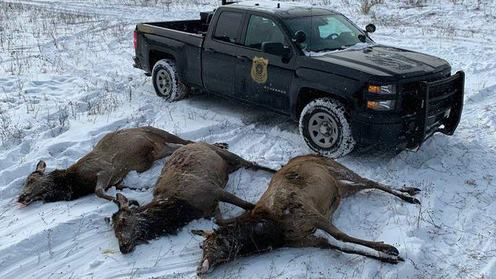 Dnr Seeks Information After 3 More Elk Poached In Northern Michigan