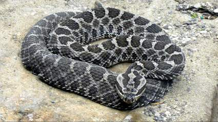 World Snake Day These 18 Species Of Snakes Are Found In Michigan