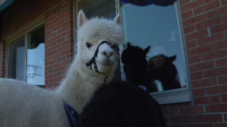 An alpaca visits with a nursing home resident in Riverview, Mich. on April 2, 2020.