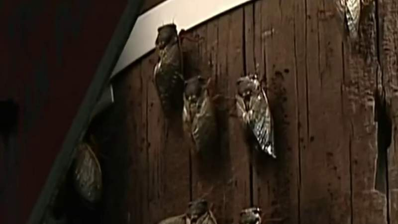 Brood X cicadas will be making their appearance in Michigan soon