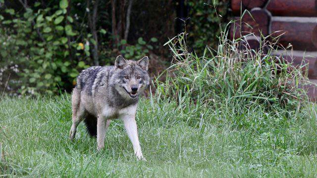 Detroit Zoo welcomes new female gray wolf from Minnesota.