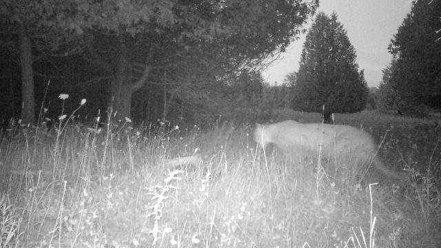 A cougar is shown Aug. 17 from a game camera in Delta County. (Michigan DNR)
