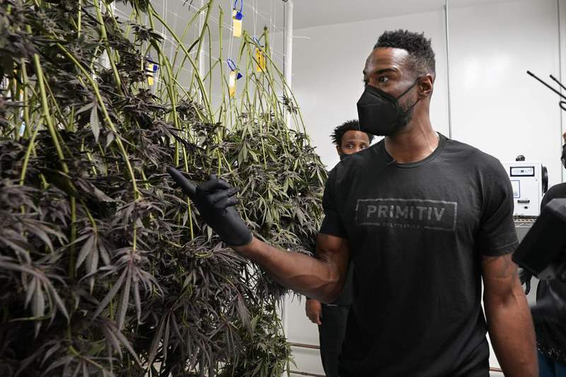 Calvin Johnson looks over marijuana plants growing at his business in Webberville, Mich., Friday, June 4, 2021. The former Detroit Lions wide receiver has founded a cannabis business and is collaborating with Harvard University to research how marijuana can help people with CTE and chronic pain. Johnson will be inducted into the Pro Football Hall of Fame on Aug. 8.